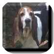 Basset Hound Dog for adoption in Marietta, Georgia - Audrey