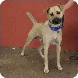 German Shepherd Dog Mix Dog for adoption in Denver, Colorado - Beau