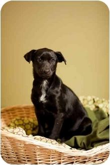 Labrador Retriever Mix Puppy for adoption in Portland, Oregon - Zander
