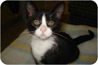 Domestic Shorthair Kitten for adoption in Mission, British Columbia - Kaleana