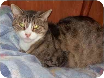 Domestic Shorthair Cat for adoption in East Stroudsburg, Pennsylvania - Magnolia