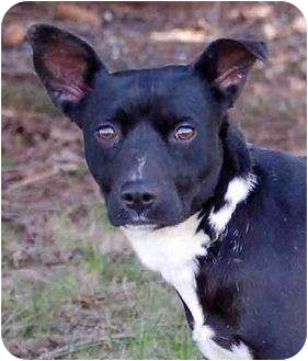 Border Collie/Terrier (Unknown Type, Medium) Mix Dog for adoption in Mora, Minnesota - Morgan