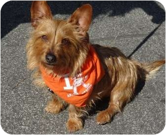 Cairn Terrier/Terrier (Unknown Type, Small) Mix Dog for adoption in Los Angeles, California - Rascal