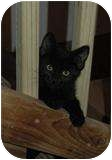 Domestic Shorthair Cat for adoption in Council Bluffs, Iowa - Fonzie