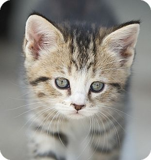 Domestic Shorthair Kitten for adoption in Providence, Rhode Island - Tiger Lily