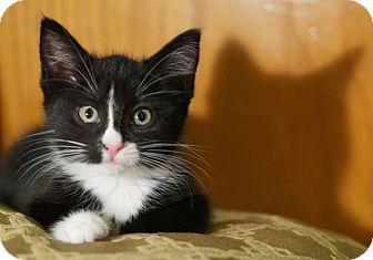 Domestic Shorthair Kitten for adoption in Medford, Massachusetts - Zeeme