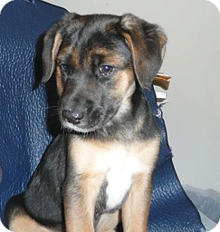 Shepherd (Unknown Type) Mix Puppy for adoption in Wallingford Area, Connecticut - Girly Girl