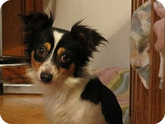 Papillon Mix Dog for adoption in Brownsville, Texas - Checkers