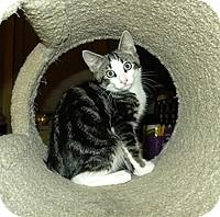 Domestic Shorthair Kitten for adoption in Tampa, Florida - Derek