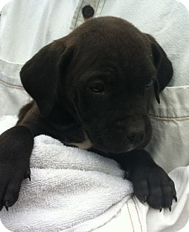 Boxer/Labrador Retriever Mix Puppy for adoption in Nuevo, California - Melly Mel