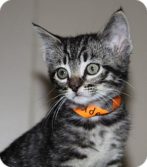 Domestic Shorthair Kitten for adoption in Stillwater, Oklahoma - Caden