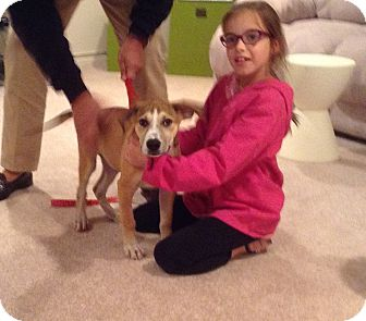 Retriever (Unknown Type)/Beagle Mix Puppy for adoption in Randolph, New Jersey - Trace - LOVES KIDS & DOGS