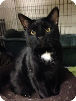 Domestic Shorthair Cat for adoption in East Brunswick, New Jersey - Meatball