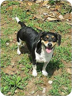 Beagle Mix Dog for adoption in Lincolndale, New York - lil Bit