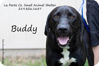 Labrador Retriever Dog for adoption in La Porte, Indiana - Buddy