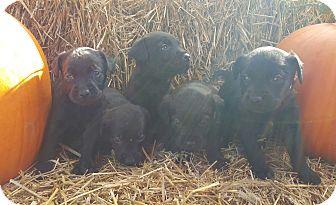 Labrador Retriever/Golden Retriever Mix Puppy for adoption in Oakland, Michigan - Black Lab/Golden Retriever Pup