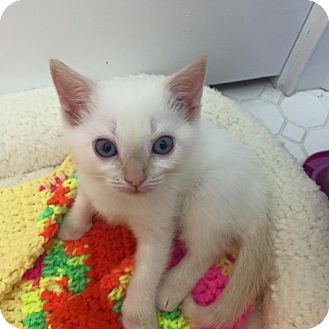 Siamese Kitten for adoption in Tampa, Florida - Chloe