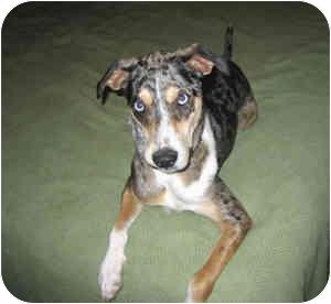 Catahoula Leopard Dog/Pointer Mix Dog for adoption in Cedar Creek, Texas - Confetti