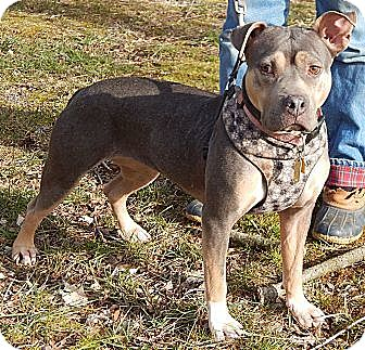 American Staffordshire Terrier/Staffordshire Bull Terrier Mix Dog for adoption in SUSSEX, New Jersey - Ruby(L)(55 lb) Loves Kids!