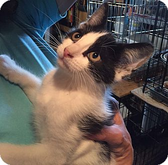 Domestic Shorthair Kitten for adoption in Lombard, Illinois - Scampi