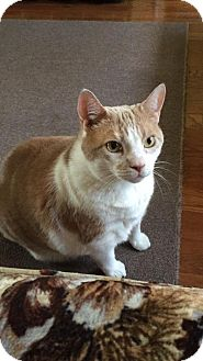 Domestic Mediumhair Cat for adoption in Newfield, New Jersey - Bud