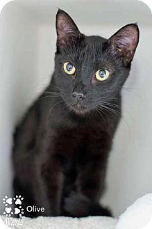 Domestic Shorthair Cat for adoption in Merrifield, Virginia - Olive