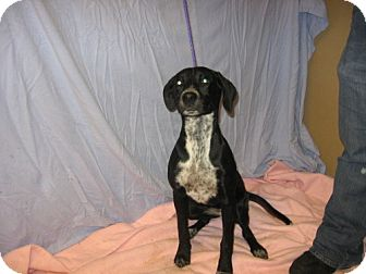 Labrador Retriever/Pointer Mix Dog for adoption in Kankakee, Illinois - Mercy