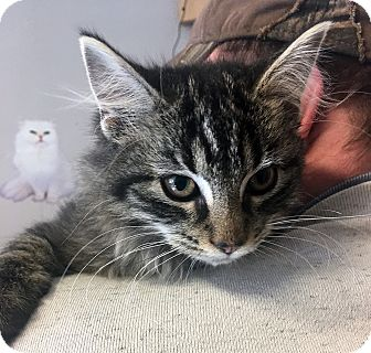 Domestic Mediumhair Cat for adoption in Loogootee, Indiana - Nugget