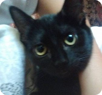Domestic Shorthair Cat for adoption in Enid, Oklahoma - Judy
