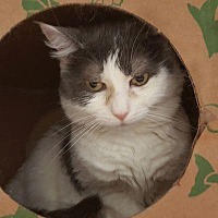 Domestic Shorthair Cat for adoption in Denver, Colorado - Molly