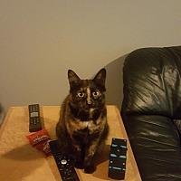 Domestic Shorthair Cat for adoption in Oswego, Illinois - Cali