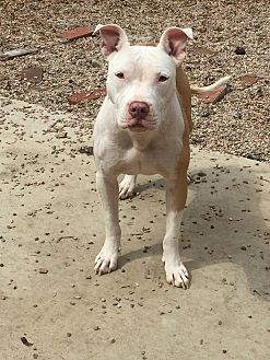 Pit Bull Terrier Mix Dog for adoption in Fort Collins, Colorado - Grace Kelly