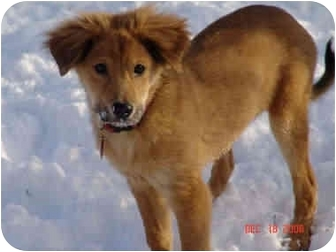 Sheltie, Shetland Sheepdog/Collie Mix Puppy for adoption in kennebunkport, Maine - Jessica-ADOPTED!
