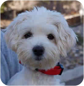 Maltese Mix Dog for adoption in Reno, Nevada - Ruffus