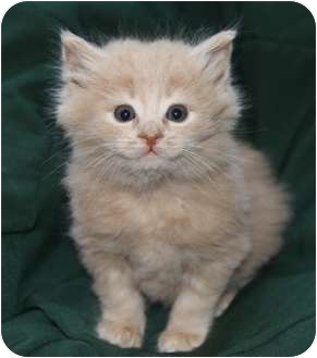 Domestic Longhair Kitten for adoption in Newport Beach, California - BARNEY