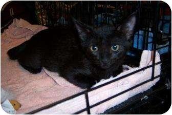 Domestic Shorthair Kitten for adoption in Cocoa, Florida - Eli