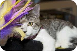 Domestic Shorthair Kitten for adoption in Tracy, California - Dylan-PENDING ADOPTION!