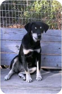 Rottweiler Mix Dog for adoption in Vidor, Texas - Morenci
