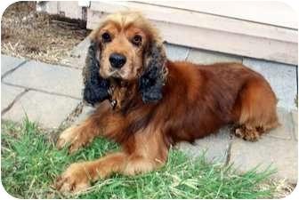 Cocker Spaniel Mix Dog for adoption in Sullivan, Missouri - Beau