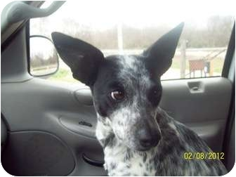 Jack Russell Terrier/Blue Heeler Mix Dog for adoption in Grand Saline, Texas - FOXIE