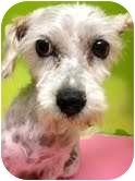 Poodle (Miniature)/Terrier (Unknown Type, Medium) Mix Dog for adoption in pasadena, California - Viki