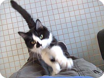 Domestic Mediumhair Cat for adoption in Lubbock, Texas - Arti
