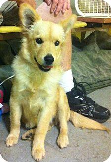 Corgi/Golden Retriever Mix Puppy for adoption in Olive Branch, Mississippi - Zelda