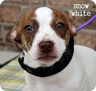 Terrier (Unknown Type, Medium) Mix Puppy for adoption in Charlotte, North Carolina - Snow White (Princess Litter)