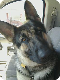 German Shepherd Dog Dog for adoption in Phoenix, Arizona - Damien von Dusenberg