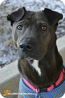 Shar Pei Mix Dog for adoption in Livonia, Michigan - Missy