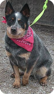 Australian Cattle Dog Dog for adoption in Texico, Illinois - Kate