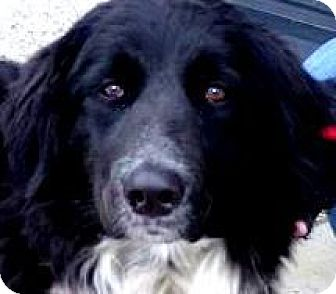 Border Collie/Golden Retriever Mix Dog for adoption in Winchester, Kentucky - MISS TAYLOR(CALM-SO LOVING!!)