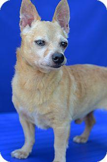 Chihuahua Mix Dog for adoption in LAFAYETTE, Louisiana - TUCKER