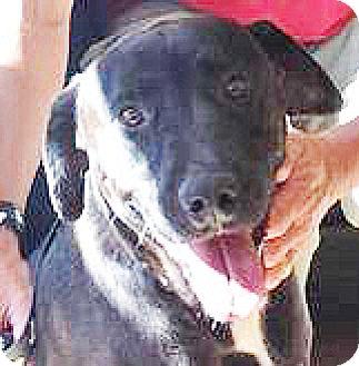 Labrador Retriever Mix Dog for adoption in Spokane, Washington - Layla